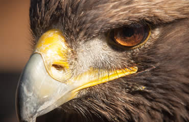 Now you can track a golden eagle