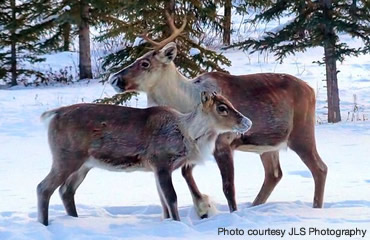 The other 364 days: Real lives of reindeer