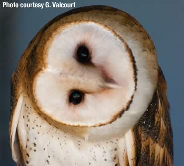 Uncommonly unique—our friend the barn owl